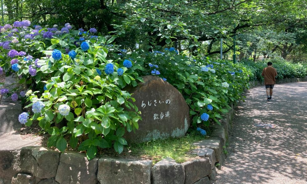 鶴舞公園のあじさい